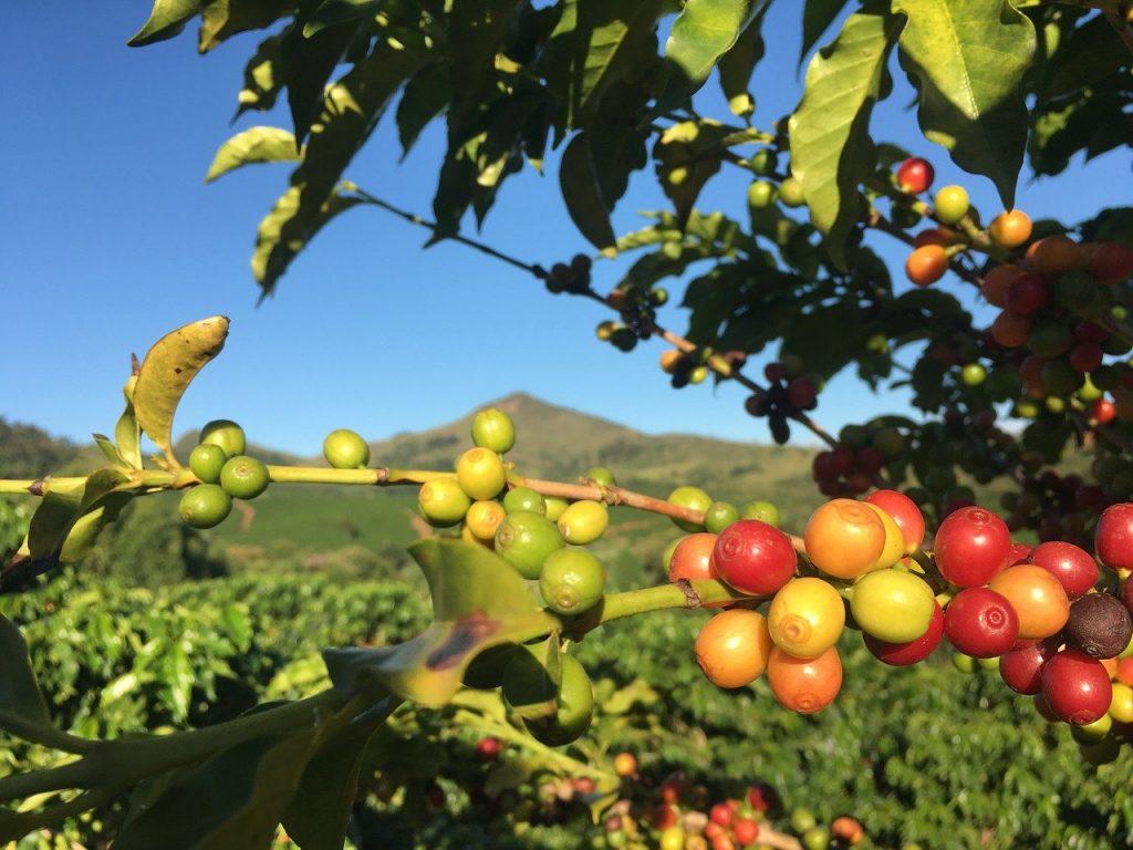 paisaje mejores cultivos cafe en brasil