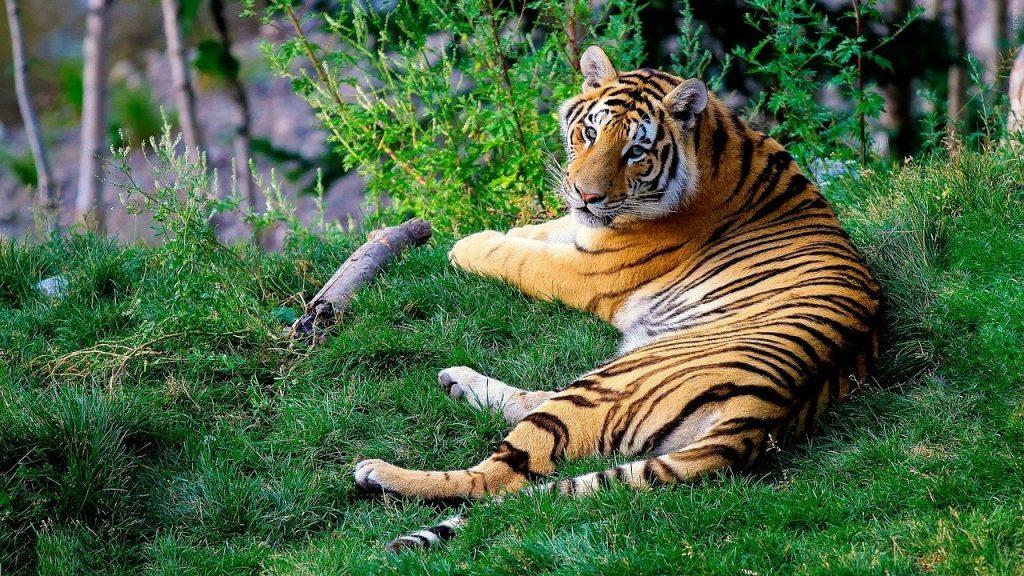 ver tigre de bengala en parque de la india